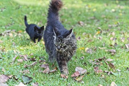 Black domestic cat kitten hunting and stalking old Maine coon cat in a grass.