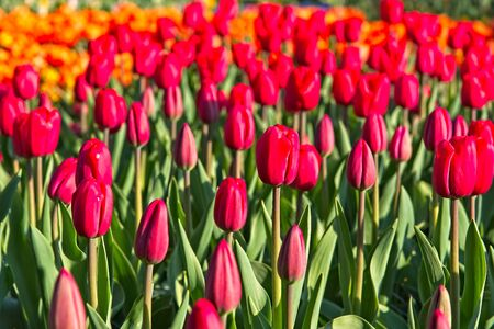 Full frame of mixture of red and orange tulips, almost unopened in morning sun.
