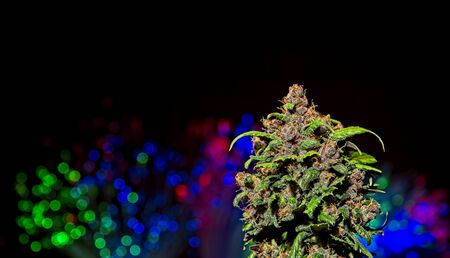 Macro close up of top bud of blooming fresh female cannabis auto - flowering indica plant with colorful lights out of focus in black background