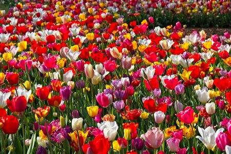 Full frame of mixture of red red, white, yellow and purple tulips in full bloom in morning sun in a dutch spring in April 2019.