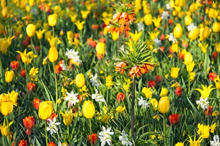 Full frame of mixture of red orange and yellow tulips with some orange Fritillarias in full bloom in morning sun in a dutch spring in April 2019.