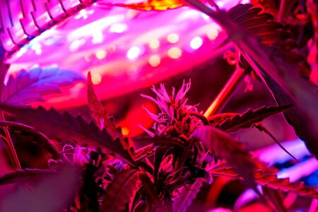 Blooming and growing cannabis autoflowering plants under LED lights indoor. Stockfoto