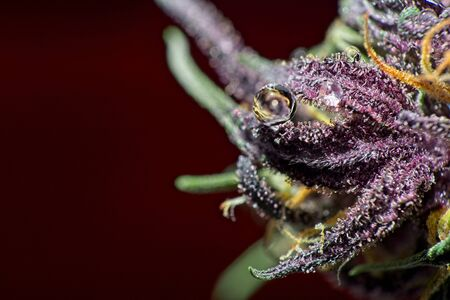 Macro close up of round water drop on purple female cannabis indica plant bud leaf with dark red background