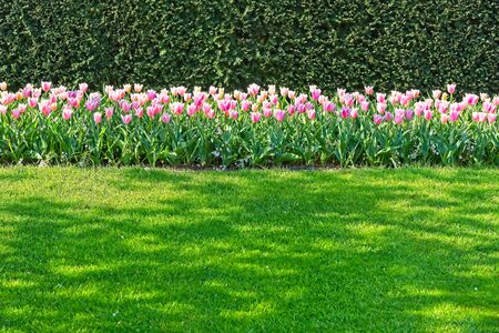 Line field of pink white dutch tulips blooming in spring morning sun Stockfoto