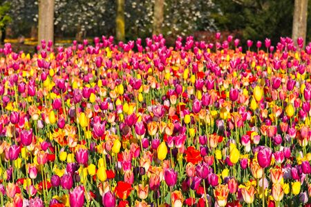 Mixture of red orange yellow and purple tulips in full bloom in morning sun in a dutch spring in April 2019.