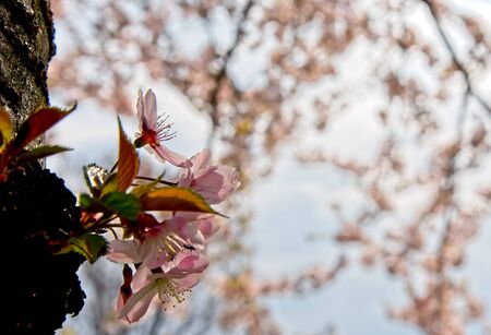 Close up of Sakura cherry tree blooming flower with pink cherry   trees background Stockfoto