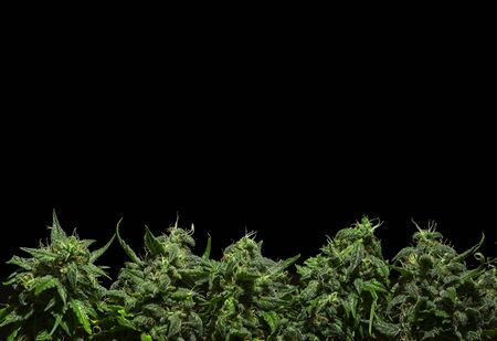 Border from cannabis buds on black background. Stockfoto