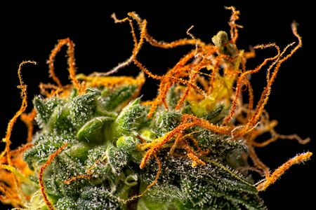 Macro close up of trichomes on female green and orange cannabis indica plant bud Stockfoto