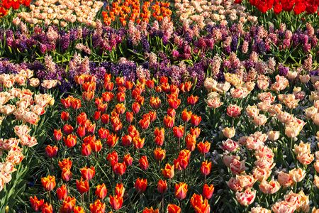 Full frame of red white and orange tulips and violet Hyacinthus in morning sun in flower garden