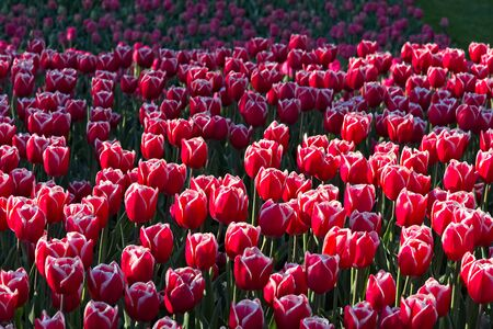 Full frame of red and white tulips in morning sun in spring. Stockfoto
