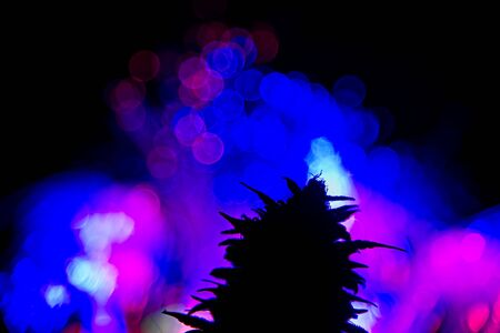Dark silhouette of female cannabis indica plant bud against  colorful lights out of focus in black background