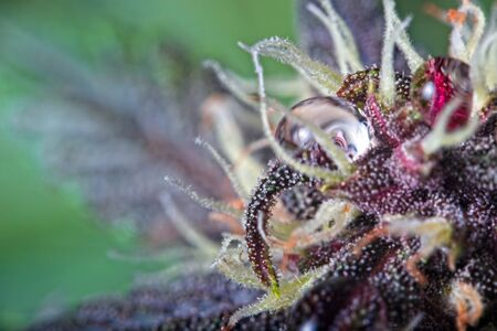 Macro close up of trichomes on purple variety of female cannabis indica plant leaf and bud with water drop. Stock fotó