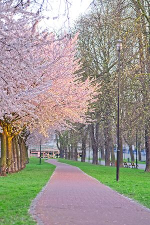White and pink cherry sakura trees in line in a park