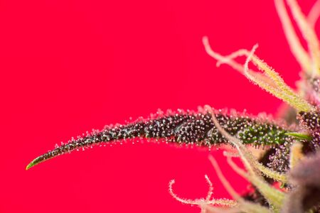 Macro close up of trichomes on red variety of female cannabis indica plant leaf and bud on red background Stock fotó
