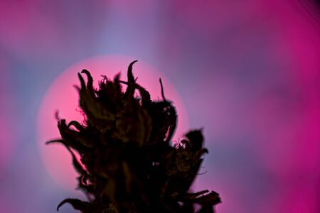 Dark silhouette of female cannabis indica plant bud against plasma lamp in background Фото со стока