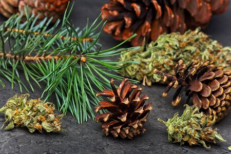 Cannabis nug  bud with pine cones and needles. Pinene terpene concept on gray background.