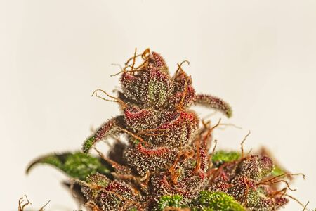 Macro close up of trichomes on nice light green and purple mature auto flowering cannabis plant top bud on light background Stock fotó
