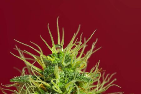 Macro close up of trichomes on female cannabis indica plant bud, with round water drop on the top and on red background.