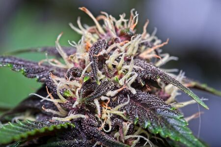 Macro close up of trichomes on purple variety of female cannabis indica plant leaf and bud