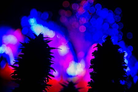 Dark silhouette of female cannabis indica plant buds against  colorful lights out of focus in black background