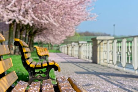 Empty benches covered with cherry petals under blowing sakura trees in city park