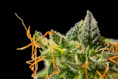 Macro close up of trichomes on female green and orange cannabis indica plant bud Stock fotó