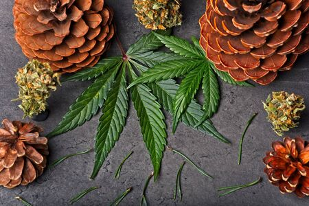 Cannabis leaves and nugs  buds with pine cones and needles. Pinene terpene concept on gray background.
