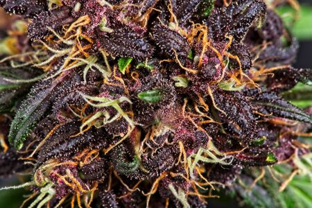 Macro close up of trichomes on purple variety of female cannabis indica plant buds.
