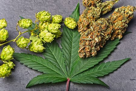 Cannabis buds and leaf with dry hoppy. Humulene terpene concept on grey background. Detailed view.