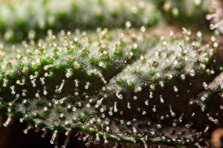 Super macro close up of trichomes on cannabis plant leaf. Archivio Fotografico