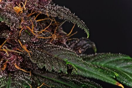 Macro close up of trichomes on purple variety of female cannabis indica plant leaf and bud on black background Archivio Fotografico