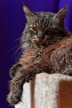 Head shot of cat - Maine coon old male face detail Archivio Fotografico