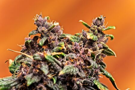 Macro close up of trichomes on purple variety of female cannabis indica plant buds on orange background