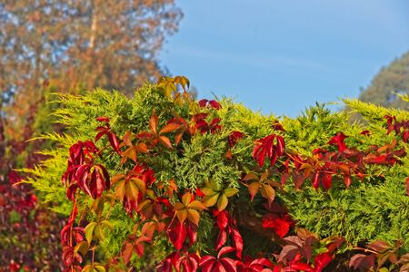 Vivid orange red and yellow colored leaves in early Autumn / fall still on tree in morning sun.