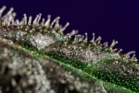Macro close up of trichomes on green cannabis indica plant leaf