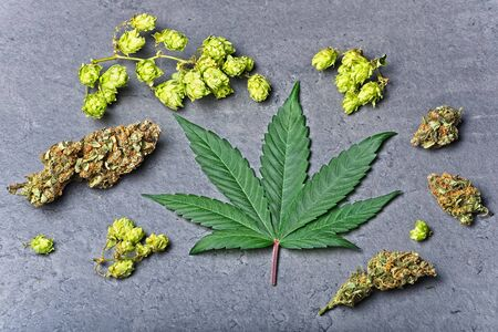 Cannabis buds and leaf with dry hoppy. Humulene terpene concept on grey background. Spread compositon.