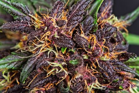 Full frame macro close up of trichomes on purple variety of female cannabis indica plant buds.