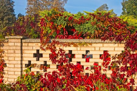 Vivid orange, red and yellow colored leaves on white cemetery wall in early Autumn / fall and soft mornig sun. Archivio Fotografico