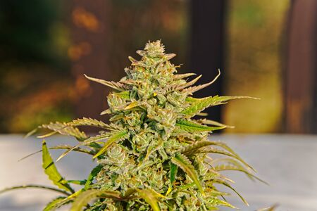 Close up of modern red quick variety of cannabis plant nice compact big top bud ready for harvest sparkling with trichomes in the sun.