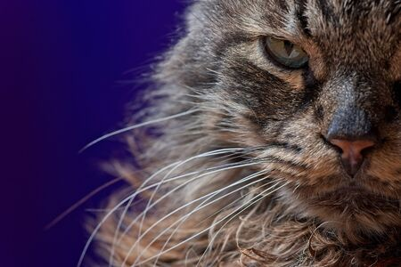 Head shot of cat - Maine coon old male face detail looking grumpy.