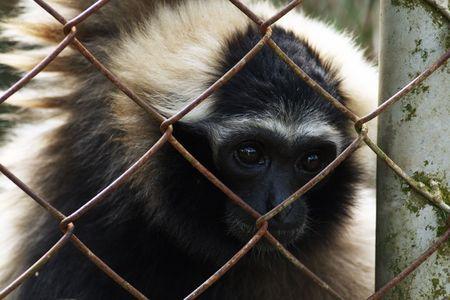 detained: gib�n de zoo  Foto de archivo