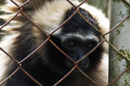 detained: gibbon of zoo