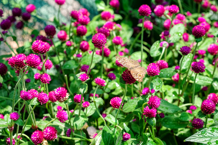 A butterfly feeding on purple gomphrena in sunshine