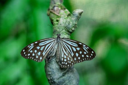 Un papillon de tigre alimentation sur feuille verte dans un jardin d'été