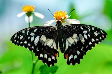 butterfly stationary: A butterfly feeding on flower in sunshine