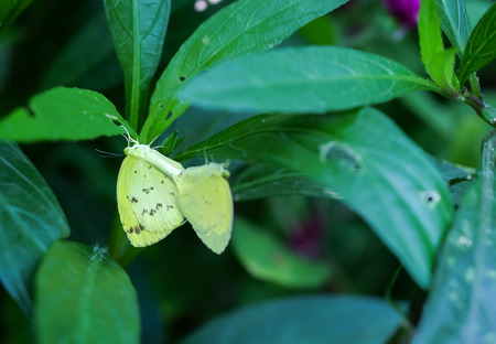 sex appeal: A couple butterfly feeding on green leaf in a summer garden