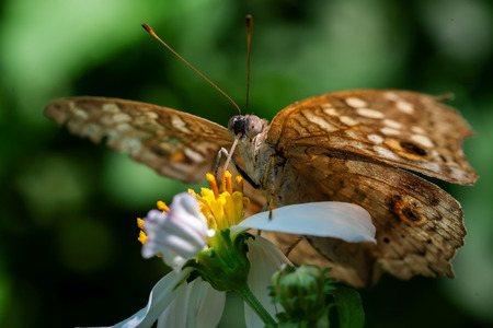 A butterfly feeding on chrysanthemum flower in sunshine