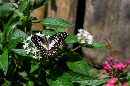 butterfly feeding on ixora flower in a summer garden Stock Photo