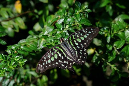 Graphium agamemnon butterfly in a garden