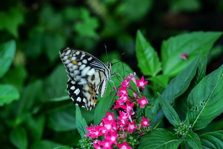lantana: butterfly feeding on ixora flower in a summer garden Stock Photo